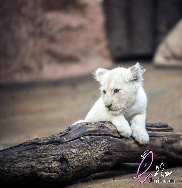 الطف صغار الحيوانات بالصور،صغار الحيوانات كيوت،خلفيات حيوانات جميلة 2018، جميع الحيوانات بالصور