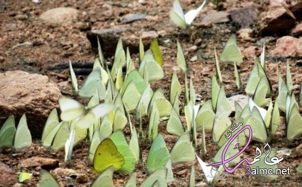 لية تتجمع الفراشات حول البركة الطين