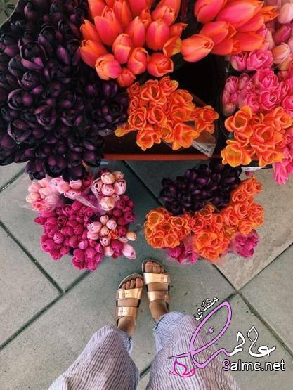 خلفيات ورمزيات وردة التوليب بالوانها,ورده التوليب,صور زهرة التولي