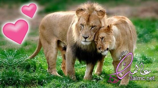 الحب عند الحيوانات.. بين الغزل العفيف واستعراض القوة 2020