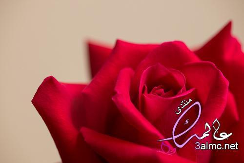 ورد أحمر رومانسي صور ورد خلفيات ورد صور ورد جوري صور ورد جوري