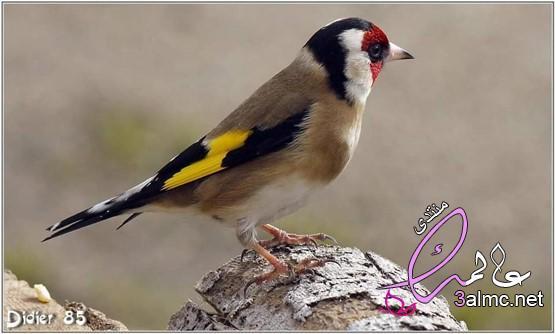 طائر نقار الخشب الرائع