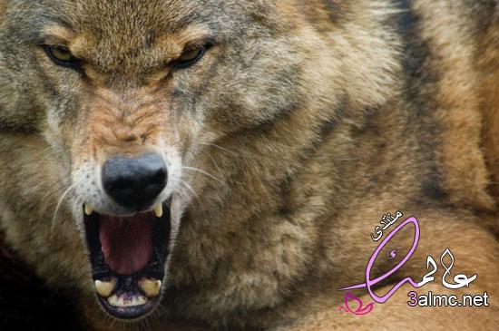 بالصور .. شاهد أخطر الحيوانات المفترسة على وجه الأرض