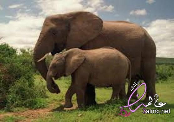 غرائب وعجائب عن الأفيال , غرائب وطرائف الأفيال