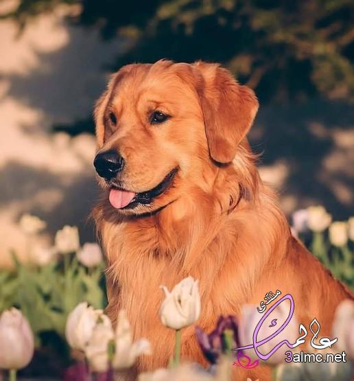 كلاب لطيفه,المستردّ الذهبي Golden Retrieved,نوع من انواع الكلاب الجميلة,بيبى شارك كلبة