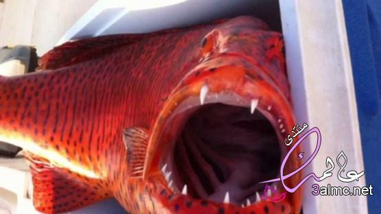 سمك الناجل، معلومات عن سمك الناجل