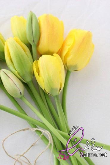 احلى صور زهور , زهرة التوليب الصفراء روعة